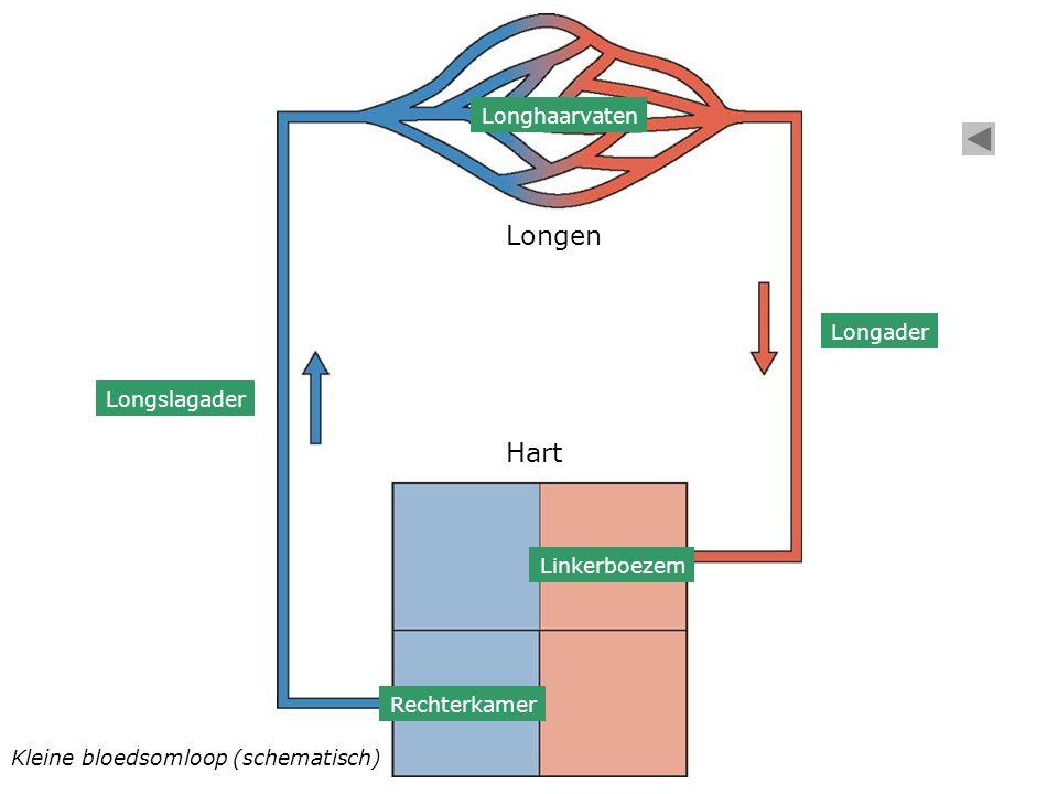 Kleine bloedsomloop (schematisch) Rechterkamer Linkerboezem Hart Longen Longslagader Longhaarvaten Longader