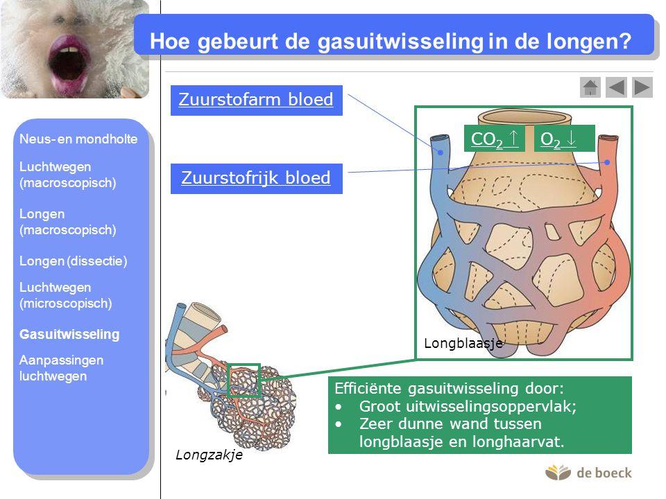 Longzakje Hoe gebeurt de gasuitwisseling in de longen.