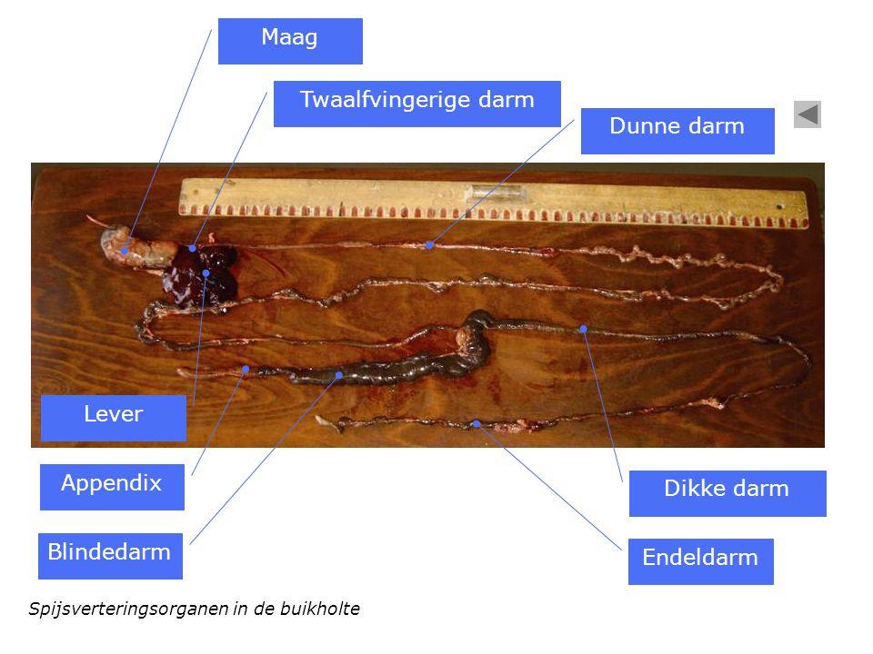 Spijsverteringsorganen in de buikholte Maag Twaalfvingerige darm Dunne darm Appendix Blindedarm Dikke darm Endeldarm Lever