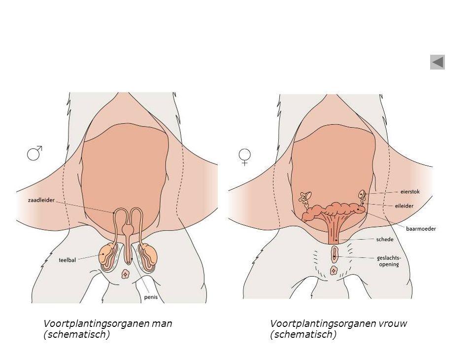 Voortplantingsorganen man (schematisch) Voortplantingsorganen vrouw (schematisch)