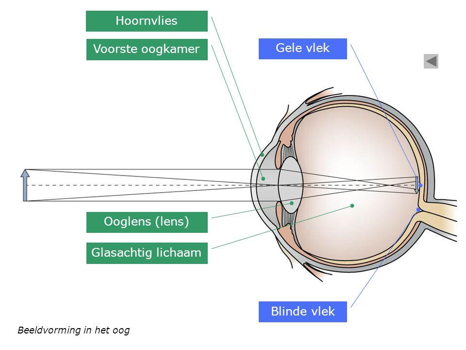 Beeldvorming in het oog Hoornvlies Voorste oogkamer Ooglens (lens) Glasachtig lichaam Gele vlek Blinde vlek