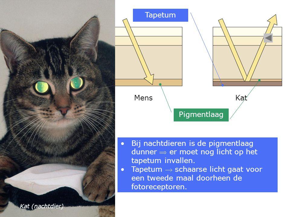 MensKat Pigmentlaag Tapetum Bij nachtdieren is de pigmentlaag dunner  er moet nog licht op het tapetum invallen.