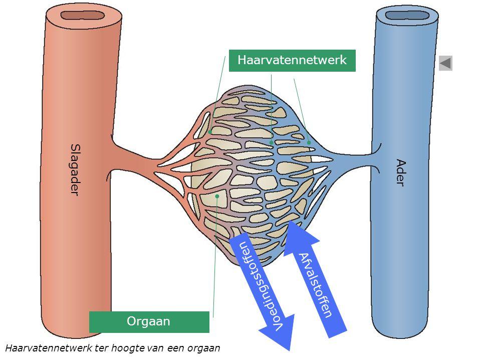 Slagader Ader Orgaan Haarvatennetwerk Afvalstoffen Voedingsstoffen Haarvatennetwerk ter hoogte van een orgaan