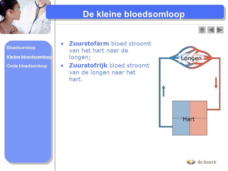 De grote bloedsomloop Zuurstofrijk bloed stroomt van het hart naar alle organen van het lichaam; Zuurstofarm bloed stroomt van de organen terug naar het hart.