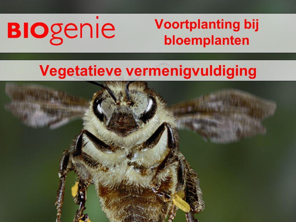 Voortplanting bij bloemplanten Vegetatieve vermenigvuldiging