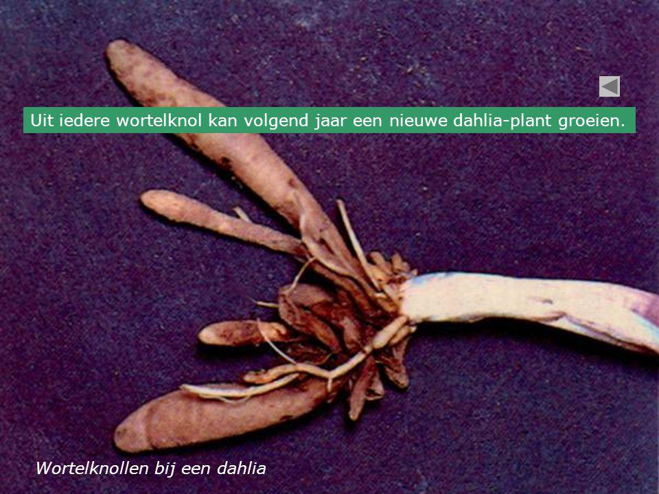 Wortelknollen bij een dahlia Uit iedere wortelknol kan volgend jaar een nieuwe dahlia-plant groeien.