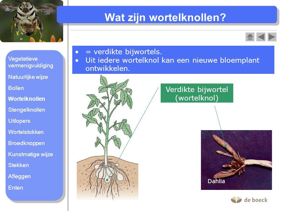 Wat zijn wortelknollen? Dahlia = verdikte bijwortels. Uit iedere wortelknol kan een nieuwe bloemplant ontwikkelen. Verdikte bijwortel (wortelknol) Veg