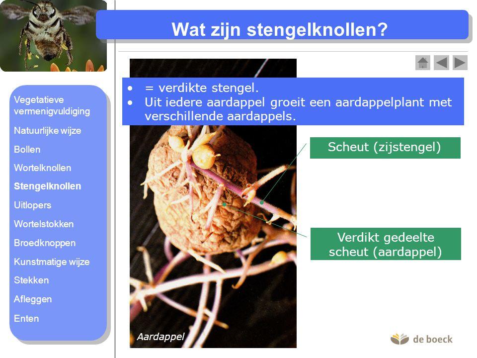 Wat zijn uitlopers.= bovengrondse zijstengels van de moederplant.
