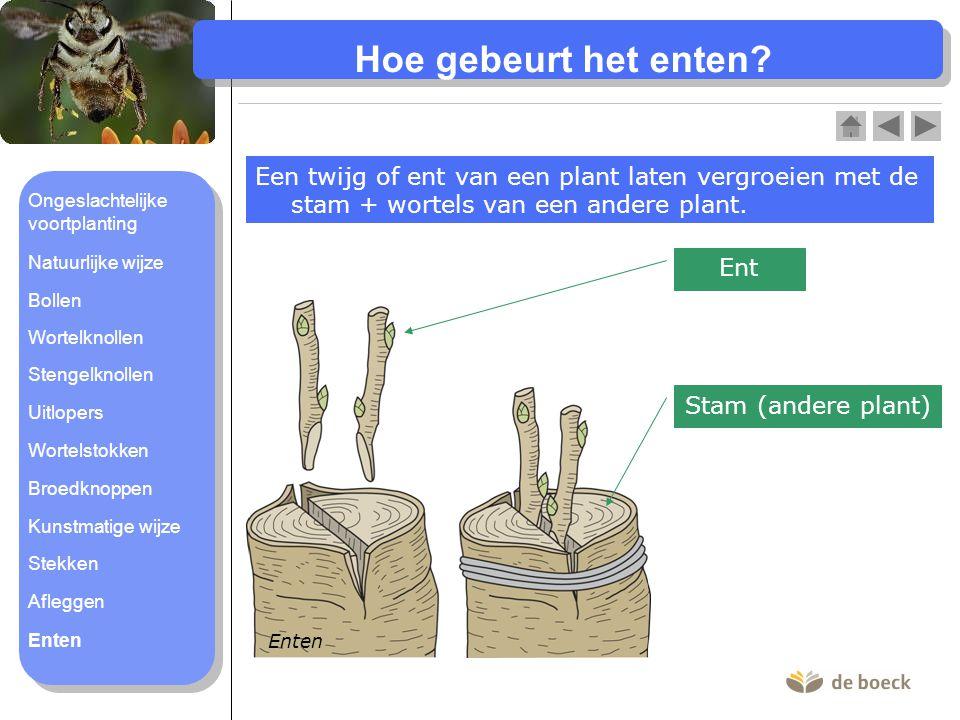 Hoe gebeurt het enten? Een twijg of ent van een plant laten vergroeien met de stam + wortels van een andere plant. Enten Ent Stam (andere plant) Onges
