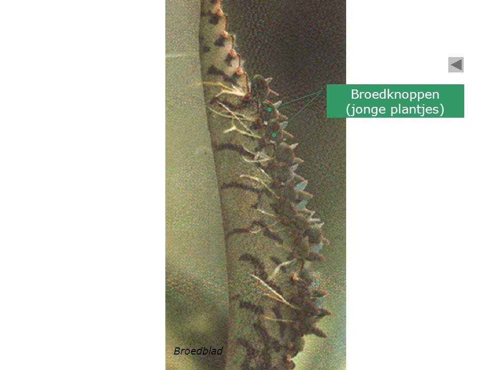 Broedblad Broedknoppen (jonge plantjes)
