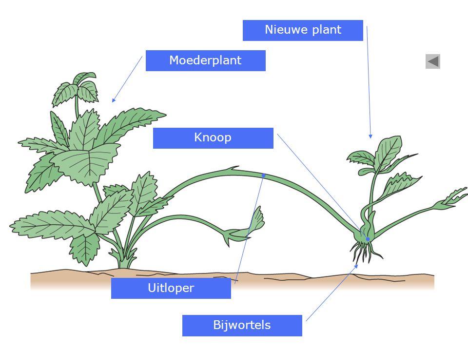 Moederplant Nieuwe plant Uitloper Bijwortels Knoop