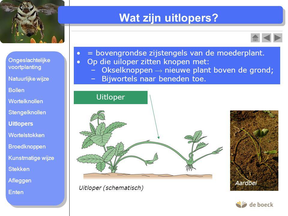 Wat zijn uitlopers? = bovengrondse zijstengels van de moederplant. Op die uiloper zitten knopen met: –Okselknoppen  nieuwe plant boven de grond; –Bij
