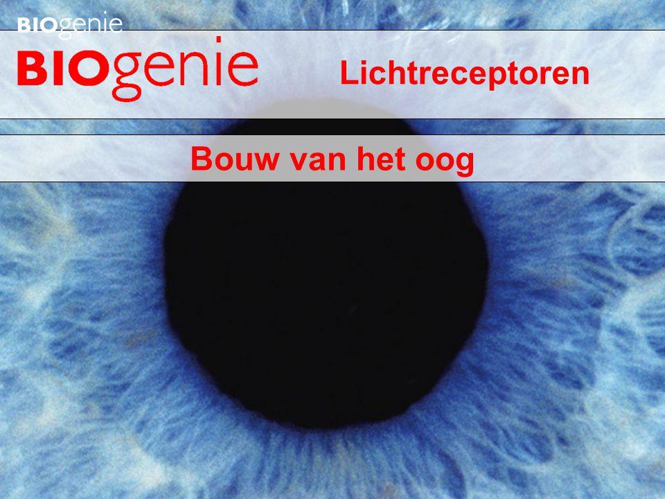 Bouw van het oog Lichtreceptoren