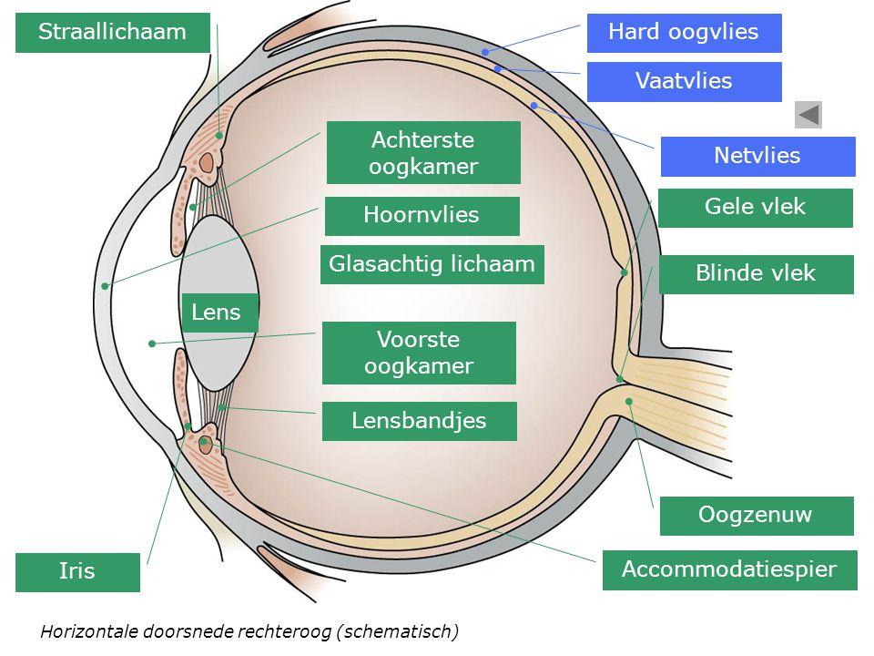 Horizontale doorsnede rechteroog (schematisch) Hard oogvlies Vaatvlies Netvlies Gele vlek Oogzenuw Blinde vlek Glasachtig lichaam Straallichaam Accomm