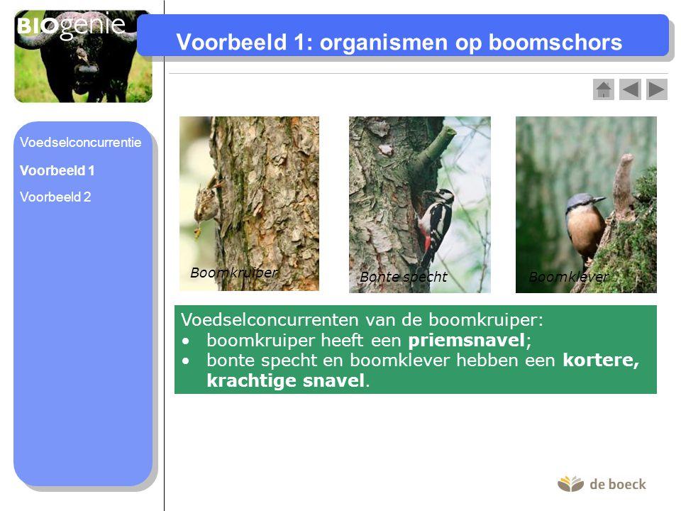 Voorbeeld 1: organismen op boomschors Boomkruiper Bonte spechtBoomklever Voedselconcurrenten van de boomkruiper: boomkruiper heeft een priemsnavel; bo