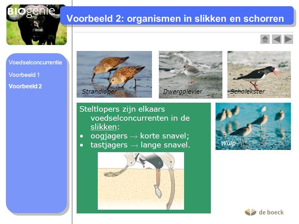 Voorbeeld 2: organismen in slikken en schorren Dwergplevier Wulp ScholeksterStrandloper Steltlopers zijn elkaars voedselconcurrenten in de slikken: oo