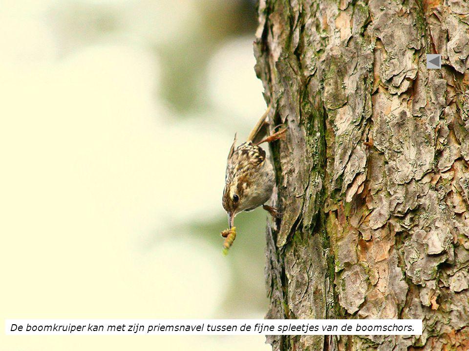 De boomkruiper kan met zijn priemsnavel tussen de fijne spleetjes van de boomschors.