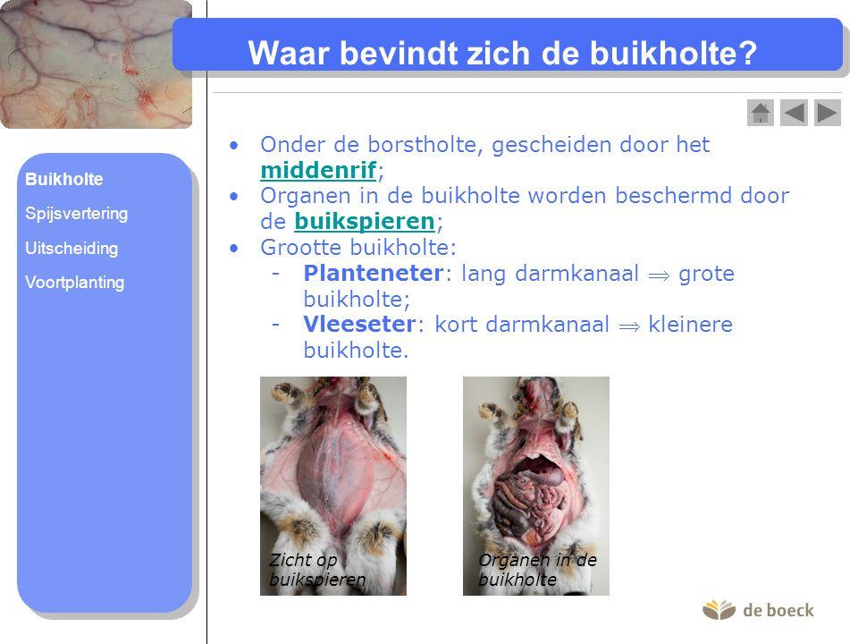 Waar bevindt zich de buikholte? Onder de borstholte, gescheiden door het middenrif; middenrif Organen in de buikholte worden beschermd door de buikspi