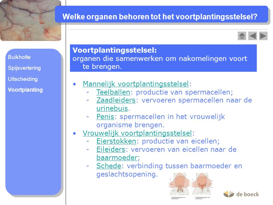 Welke organen behoren tot het voortplantingsstelsel? Voortplantingsstelsel: organen die samenwerken om nakomelingen voort te brengen. Mannelijk voortp