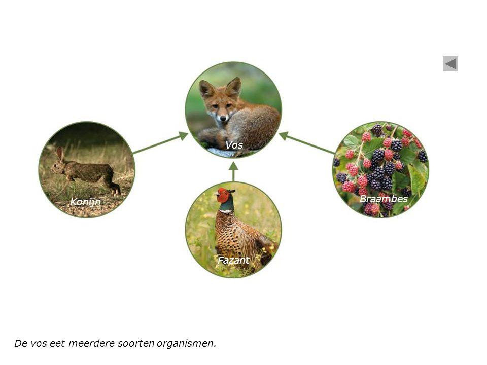 De vos eet meerdere soorten organismen. Konijn Vos Braambes Fazant