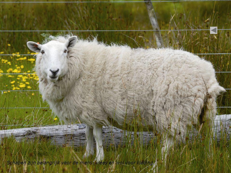 Schapen zijn belangrijk voor de mens: vlees en wol voor kleding.