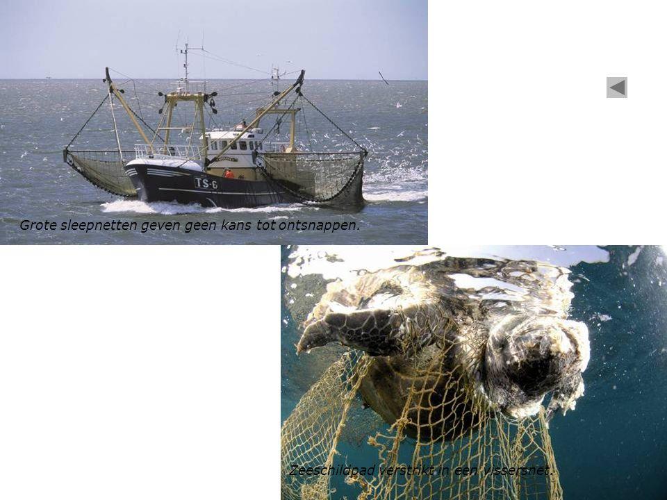 Grote sleepnetten geven geen kans tot ontsnappen. Zeeschildpad verstrikt in een vissersnet.