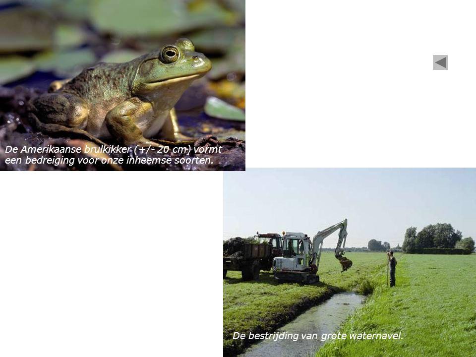 De bestrijding van grote waternavel. De Amerikaanse brulkikker (+/- 20 cm) vormt een bedreiging voor onze inheemse soorten.