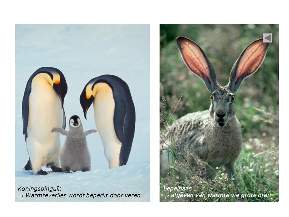 Koningspinguïn  Warmteverlies wordt beperkt door veren Lepelhaas  afgeven van warmte via grote oren