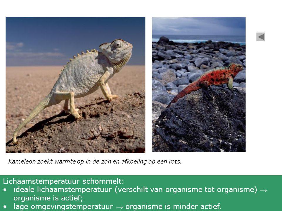 Kameleon zoekt warmte op in de zon en afkoeling op een rots. Lichaamstemperatuur schommelt: ideale lichaamstemperatuur (verschilt van organisme tot or