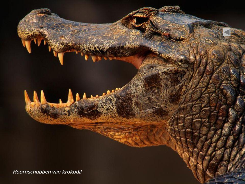Hoornschubben van krokodil