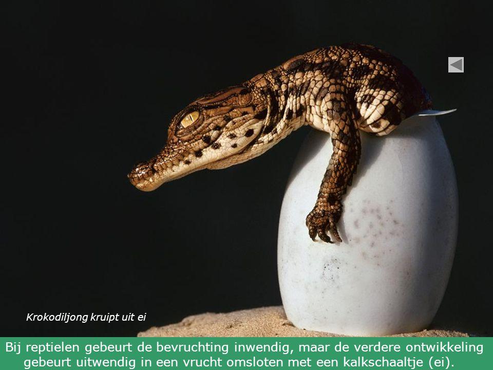 Krokodiljong kruipt uit ei Bij reptielen gebeurt de bevruchting inwendig, maar de verdere ontwikkeling gebeurt uitwendig in een vrucht omsloten met een kalkschaaltje (ei).