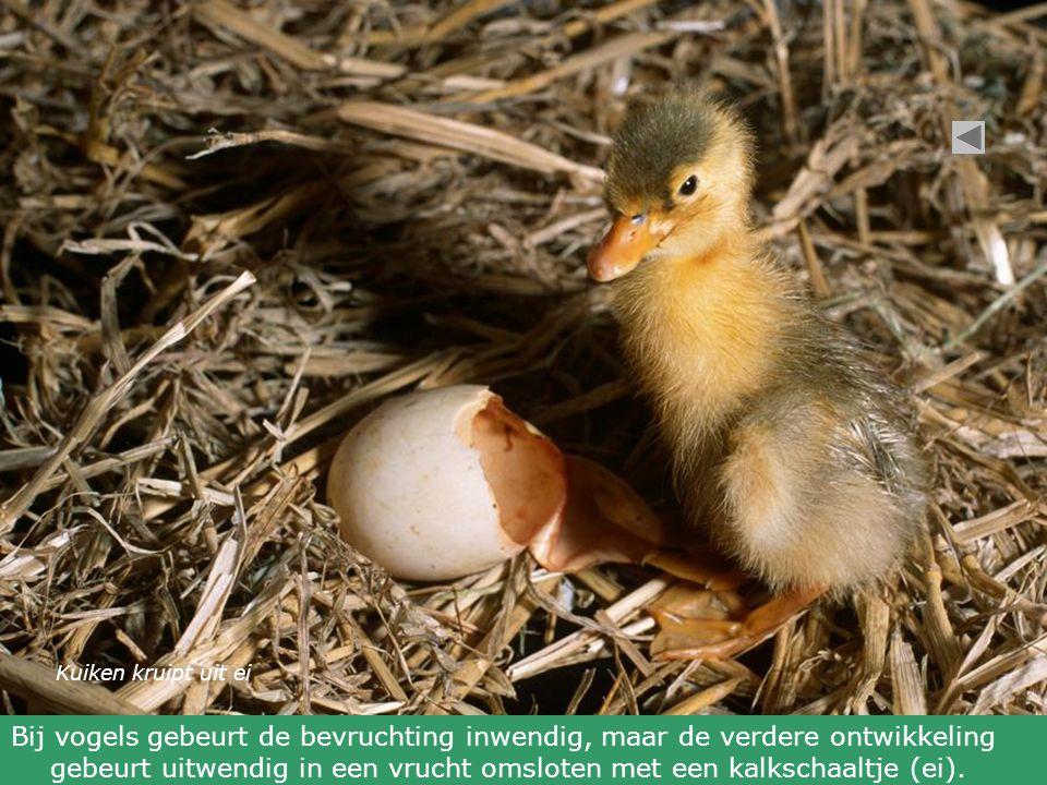 Kuiken kruipt uit ei Bij vogels gebeurt de bevruchting inwendig, maar de verdere ontwikkeling gebeurt uitwendig in een vrucht omsloten met een kalkschaaltje (ei).