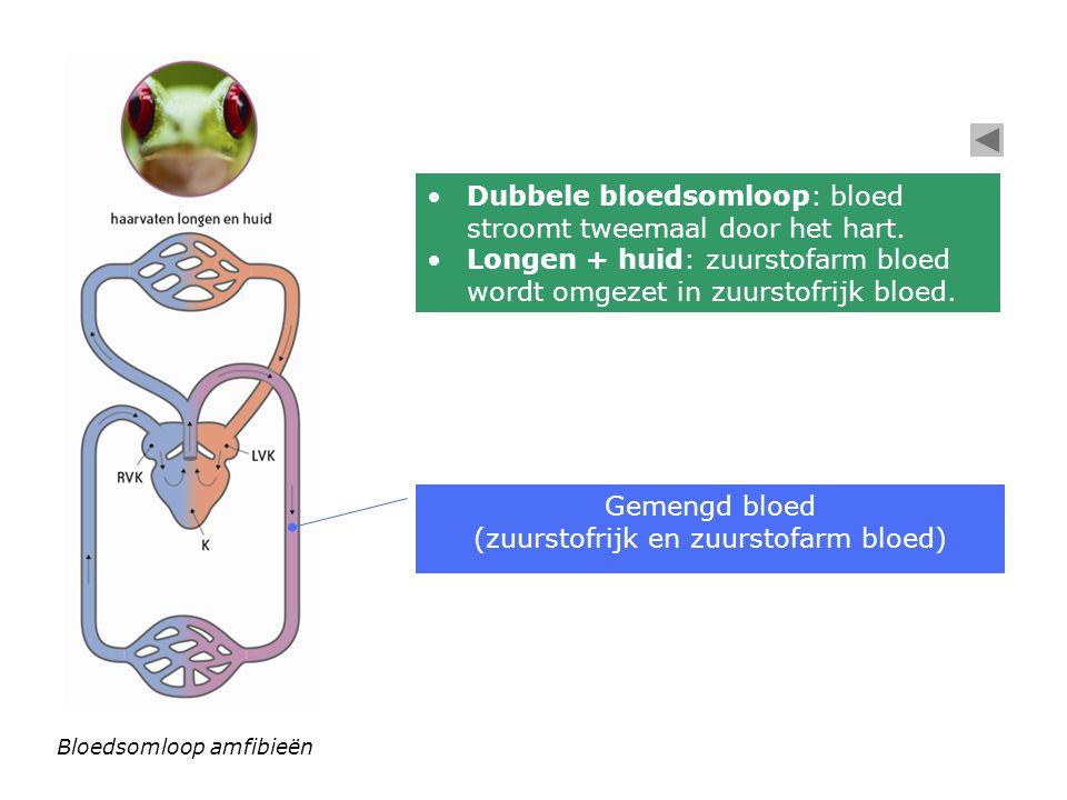 Bloedsomloop amfibieën Dubbele bloedsomloop: bloed stroomt tweemaal door het hart. Longen + huid: zuurstofarm bloed wordt omgezet in zuurstofrijk bloe