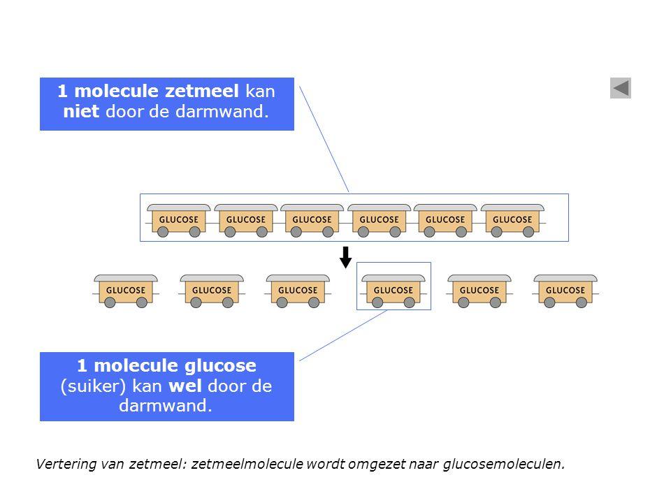 Vertering van zetmeel: zetmeelmolecule wordt omgezet naar glucosemoleculen. 1 molecule zetmeel kan niet door de darmwand. 1 molecule glucose (suiker)