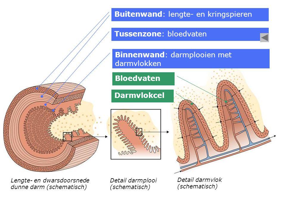 Tussenzone: bloedvaten Lengte- en dwarsdoorsnede dunne darm (schematisch) Buitenwand: lengte- en kringspieren Binnenwand: darmplooien met darmvlokken