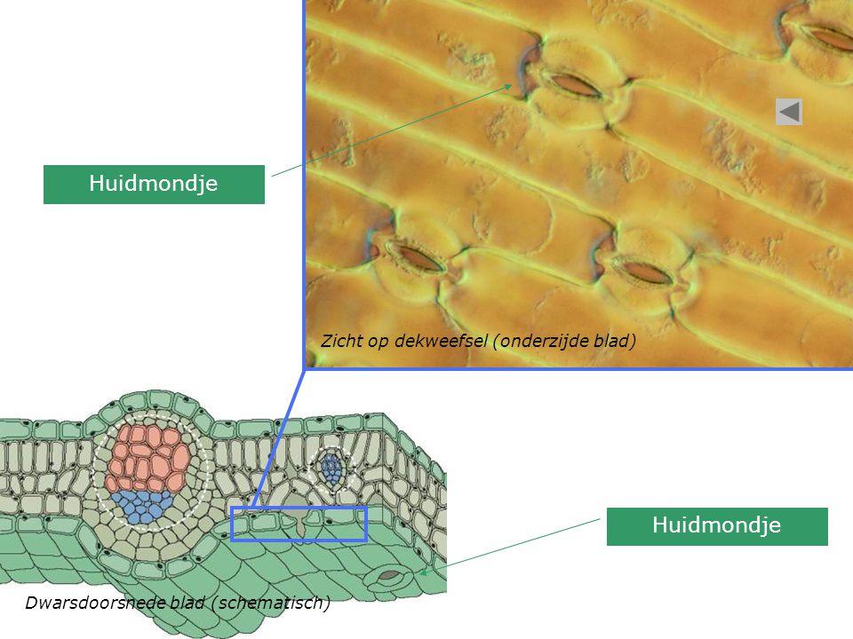 Dwarsdoorsnede blad (schematisch) Zicht op dekweefsel (onderzijde blad) Huidmondje