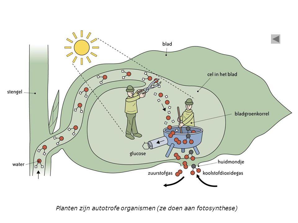 Planten zijn autotrofe organismen (ze doen aan fotosynthese)