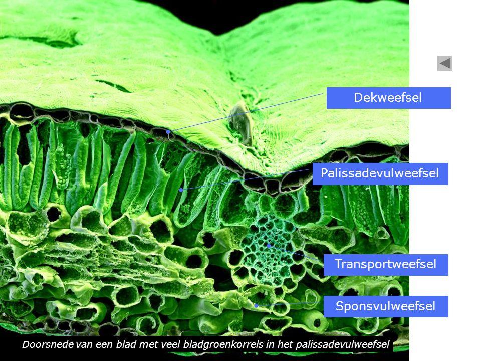 Doorsnede van een blad met veel bladgroenkorrels in het palissadevulweefsel Dekweefsel Sponsvulweefsel Palissadevulweefsel Transportweefsel