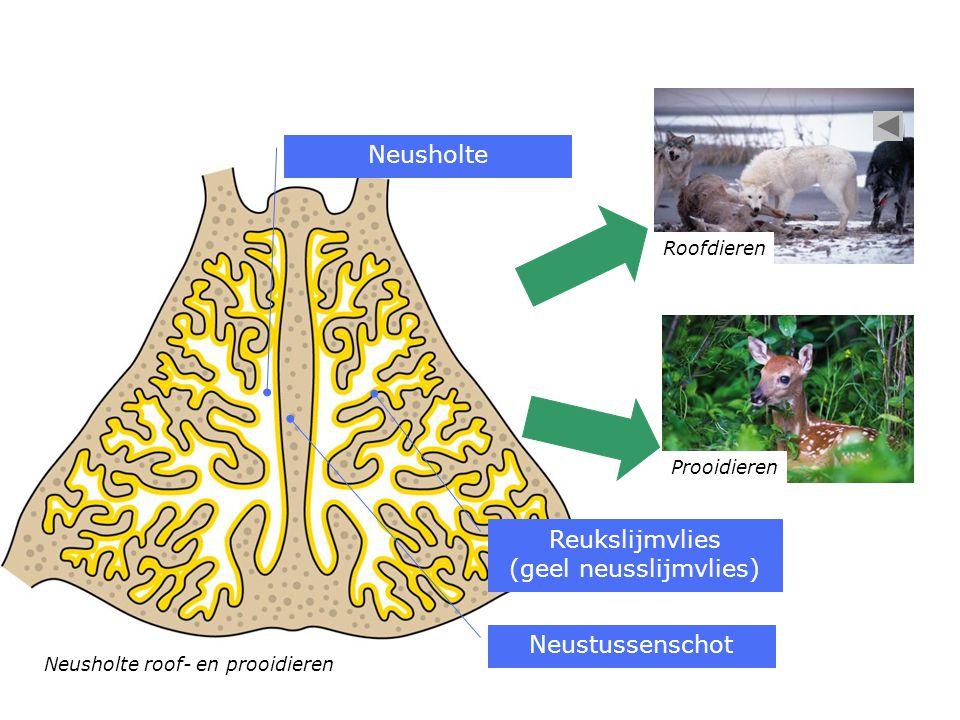 Neusholte roof- en prooidieren Neusholte Neustussenschot Reukslijmvlies (geel neusslijmvlies) Roofdieren Prooidieren