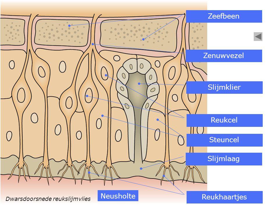 Dwarsdoorsnede reukslijmvlies Slijmklier Zeefbeen Reukcel Steuncel Zenuwvezel Slijmlaag Reukhaartjes Neusholte