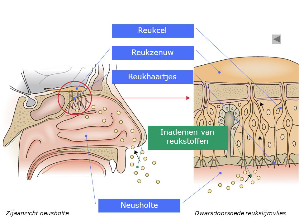 Zijaanzicht neusholte Inademen van reukstoffen Dwarsdoorsnede reukslijmvlies Neusholte Reukhaartjes Reukzenuw Reukcel