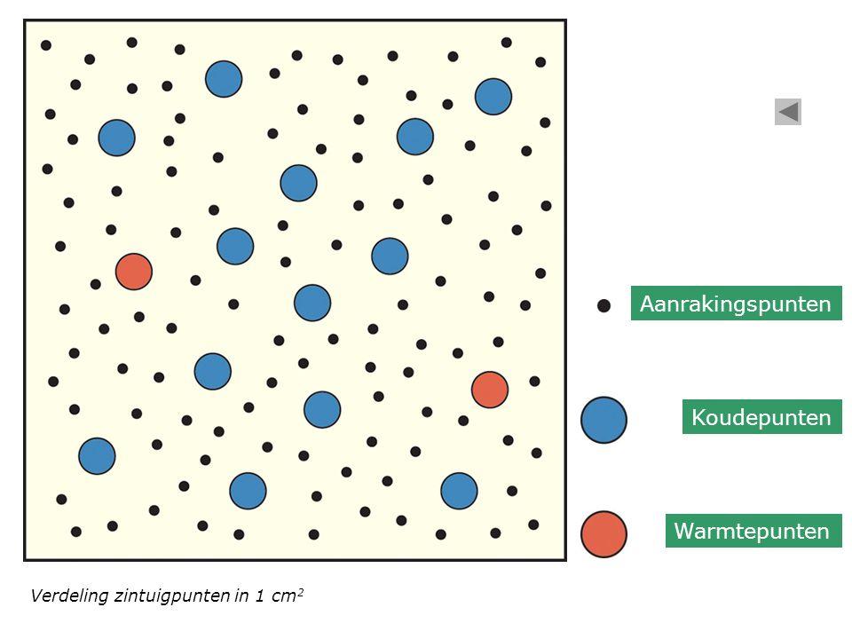 Verdeling zintuigpunten in 1 cm 2 Aanrakingspunten Koudepunten Warmtepunten