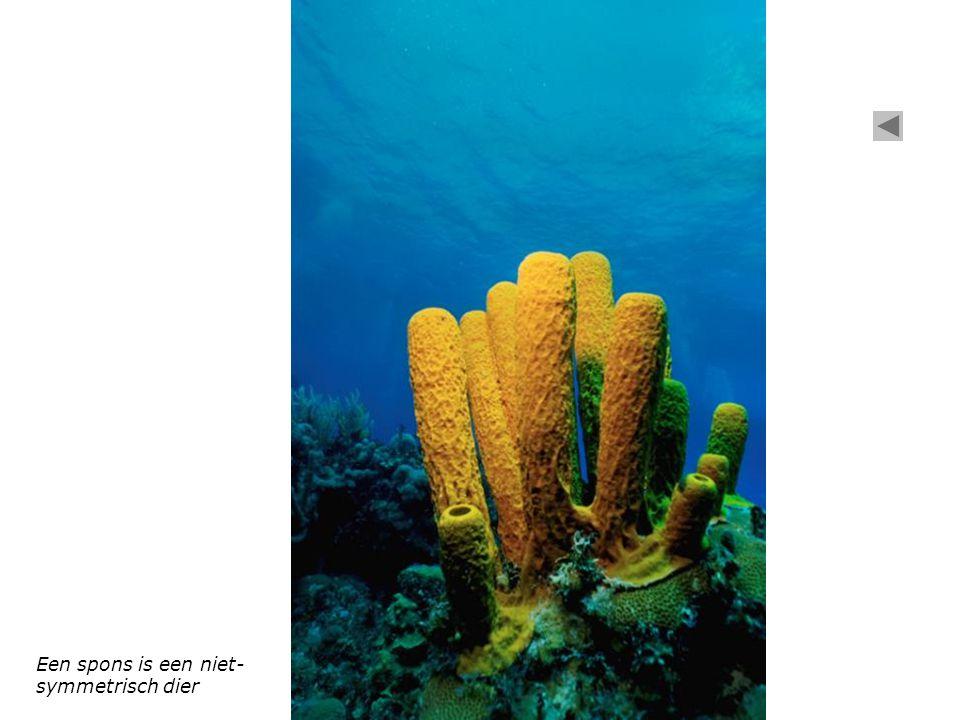 Een spons is een niet- symmetrisch dier