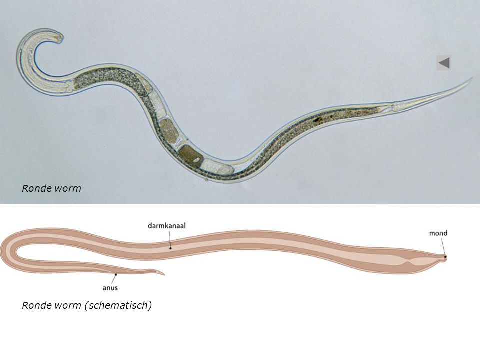 Ronde worm (schematisch) Ronde worm