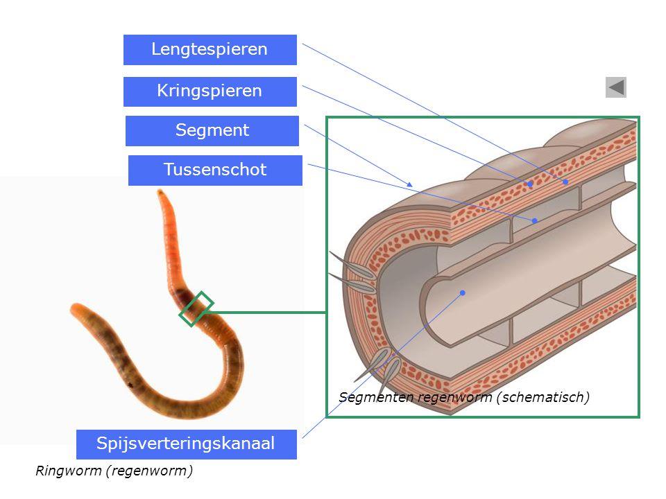 Ringworm (regenworm) Segment Segmenten regenworm (schematisch) Kringspieren Lengtespieren Tussenschot Spijsverteringskanaal