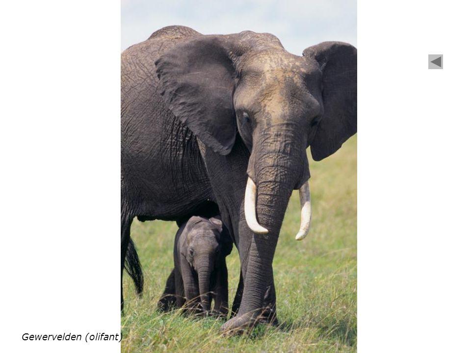 Gewervelden (olifant)
