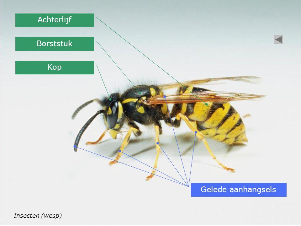 Insecten (wesp) Kop Borststuk Achterlijf Gelede aanhangsels