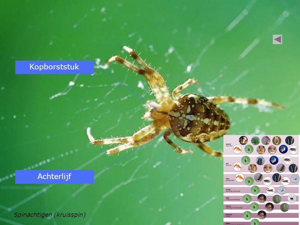 Spinachtigen (kruisspin) Kopborststuk Achterlijf