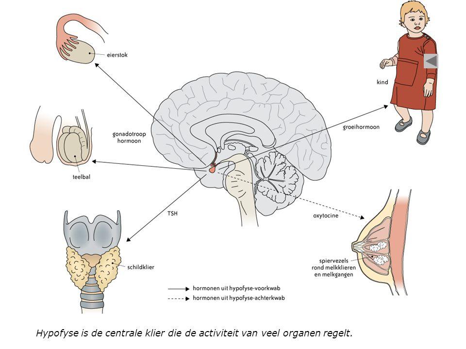 Hypofyse is de centrale klier die de activiteit van veel organen regelt.