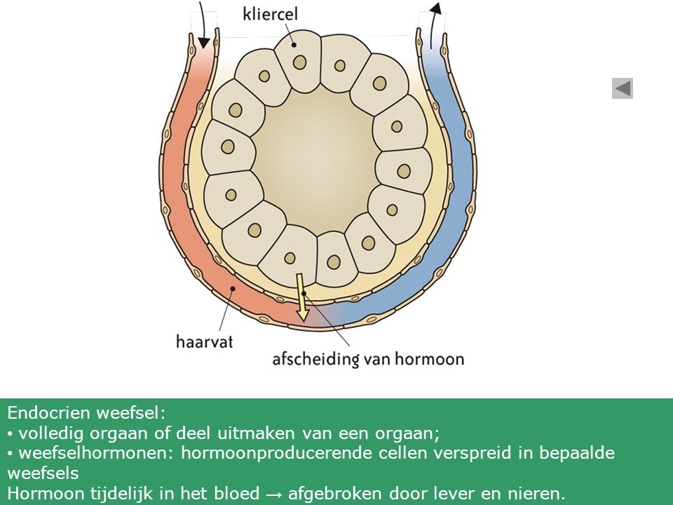 Endocrien weefsel: volledig orgaan of deel uitmaken van een orgaan; weefselhormonen: hormoonproducerende cellen verspreid in bepaalde weefsels Hormoon